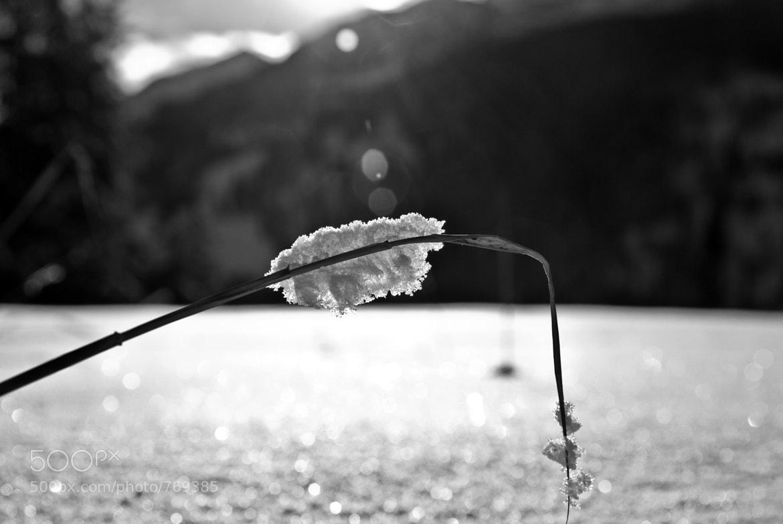 Photograph Grashalm im Schnee by Irene Hofer on 500px
