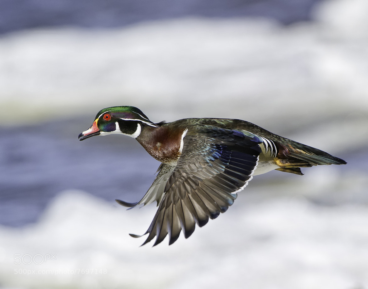 Photograph Wood Duck in flight by Daniel Parent on 500px