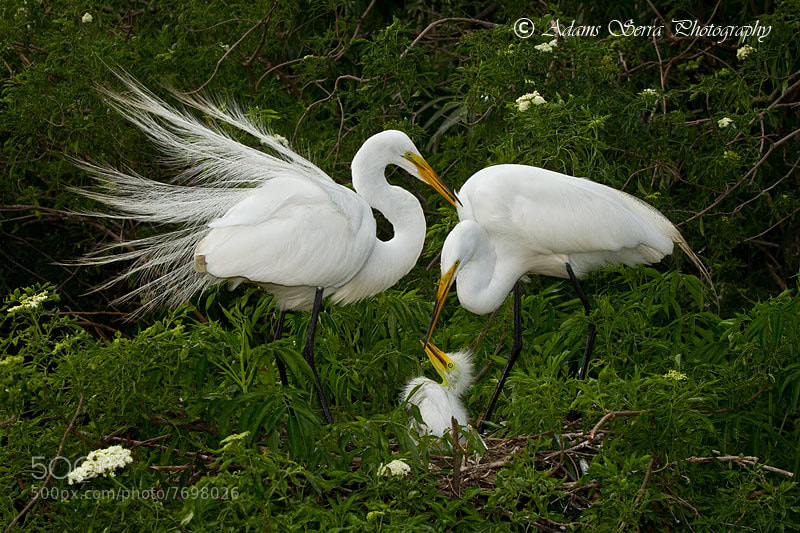 Photograph Egret Family by Adams Serra on 500px