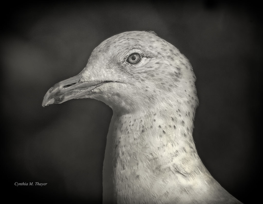 Photograph Gull Profile in B&W by Cynthia Mathre Thayer on 500px