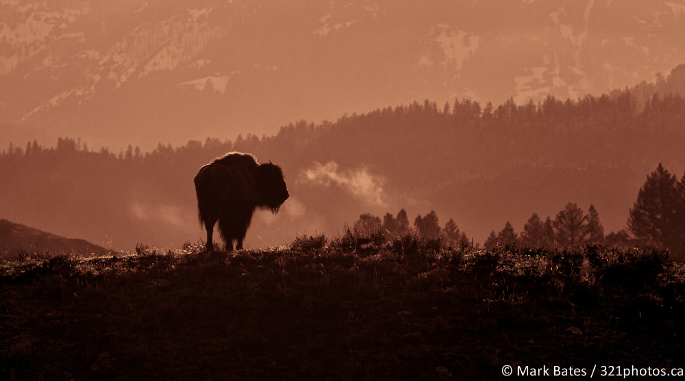 Photograph early morning bison by Mark Bates on 500px