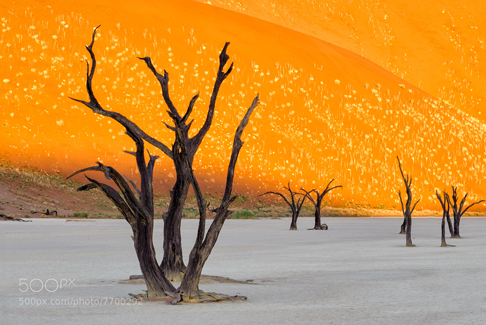 Photograph Dead Vlei sunrise by Christopher R. Gray on 500px