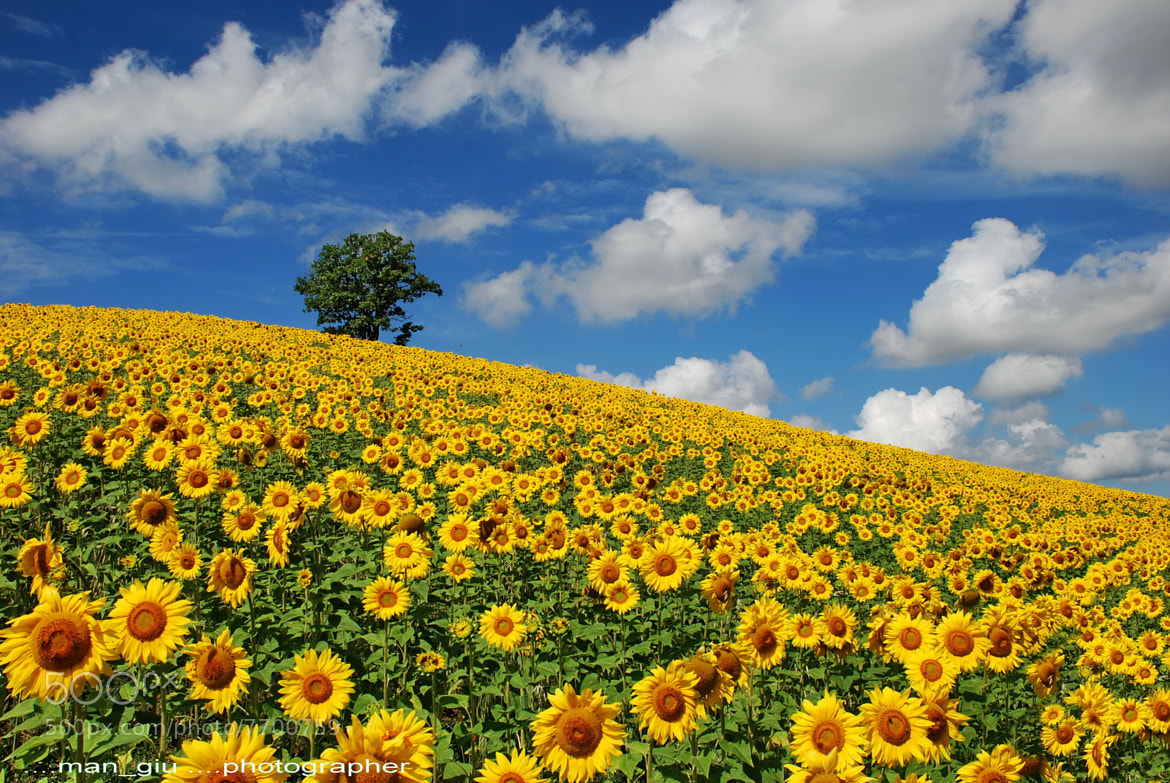 Photograph Sunflowers by Giuliano Mangani on 500px