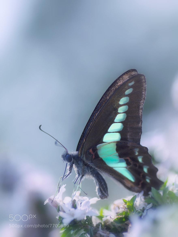Photograph Common Bluebottle by Tashi_Delek Nakata on 500px
