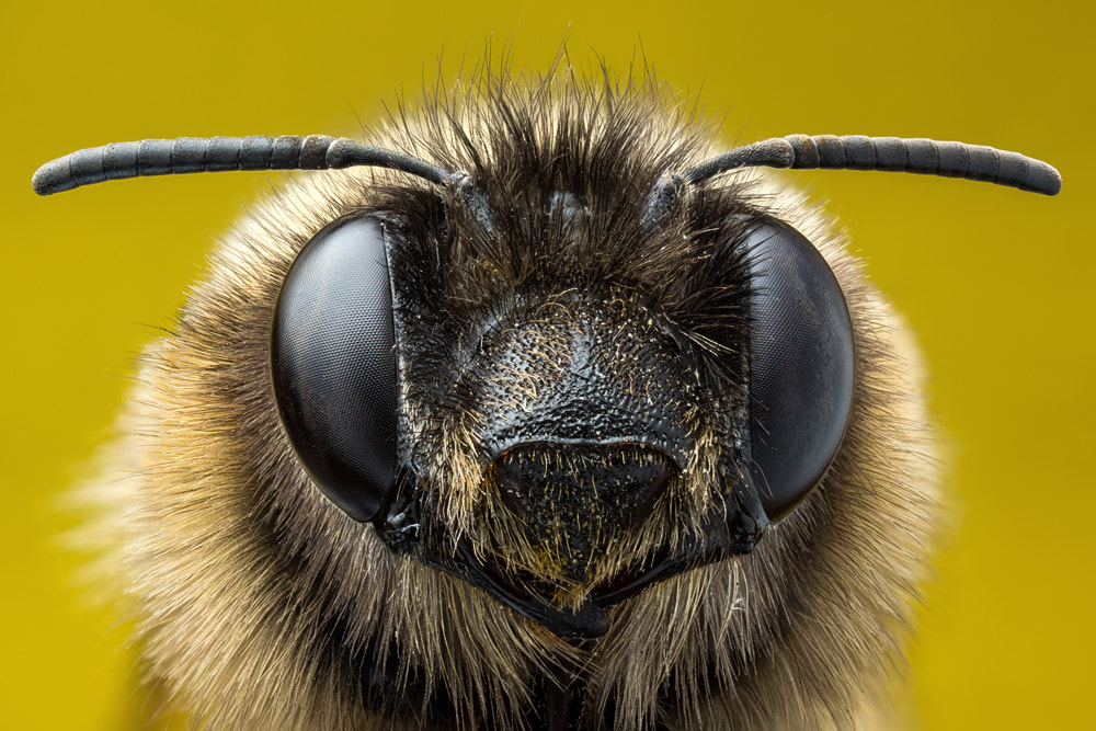 Photograph A Bee by Markus Reugels on 500px