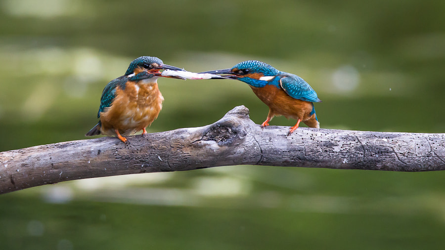 Photograph Kingfisher - here my darling by André Boss on 500px
