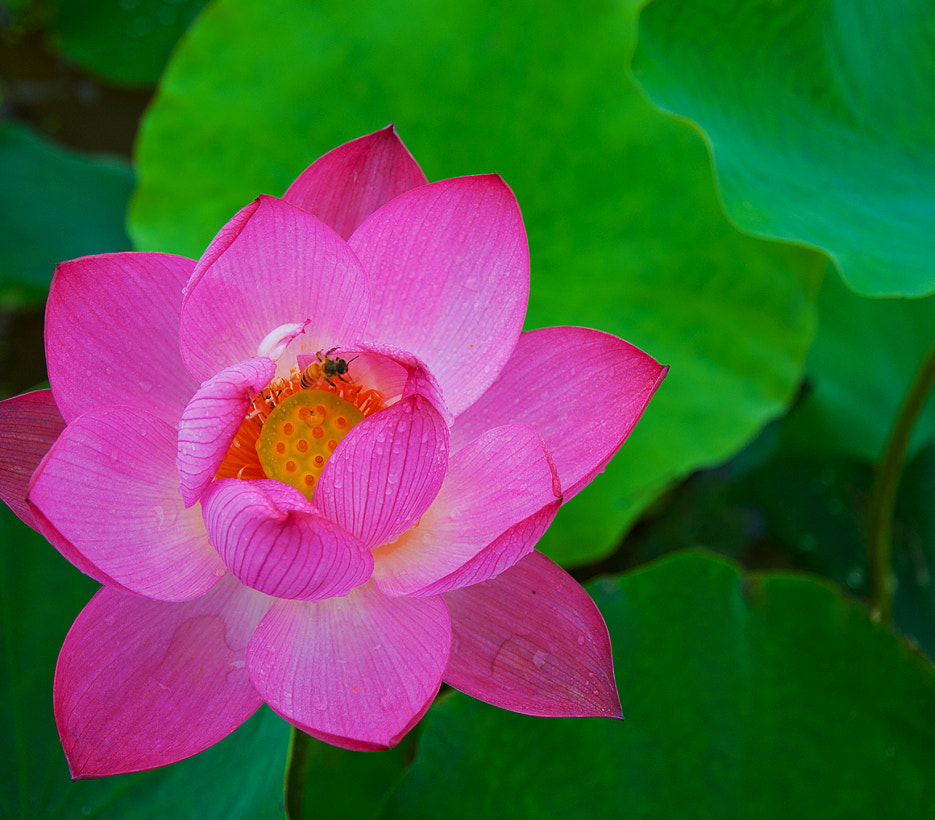 Photograph lotus by Ju sewhan on 500px