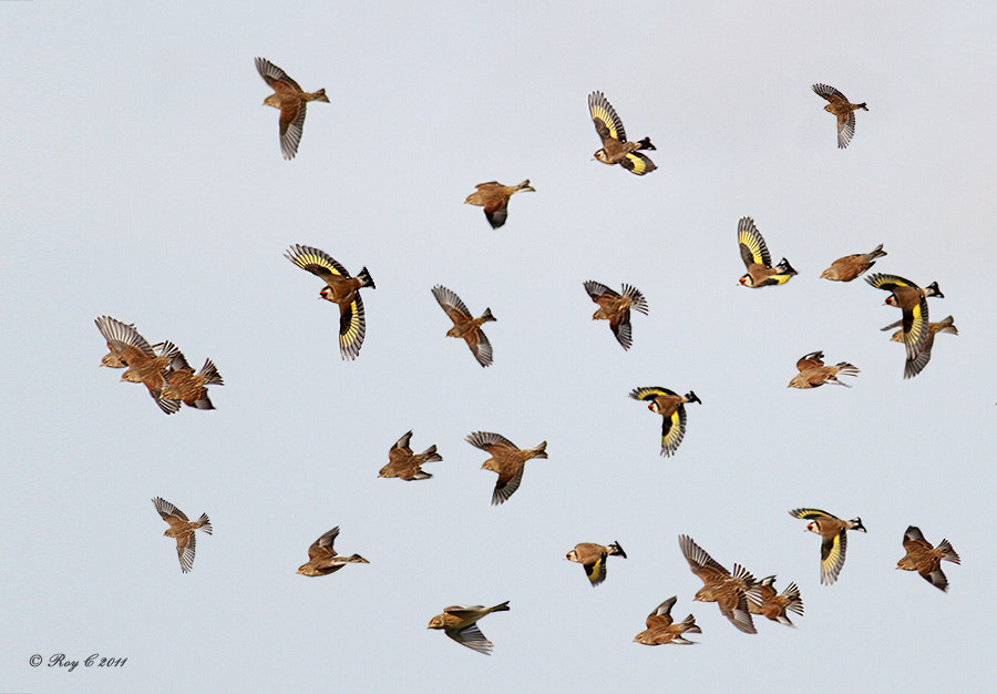 Photograph Finches galore by Roy Churchill on 500px