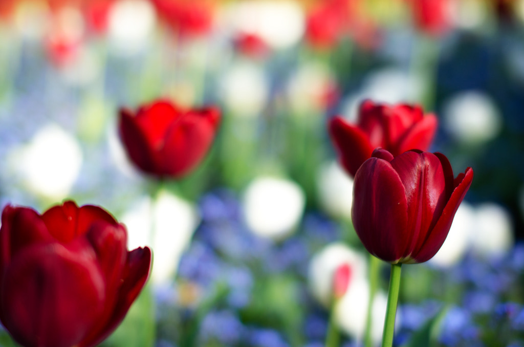 Photograph Red Tulips by Warm Bread on 500px