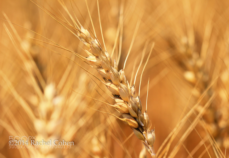 """Golden Waves of Grain""  All images protected by U.S. and International copyright laws.  No image may be used as a whole, in part, on blogs, or in any other manner without the written permission of Rachel Cohen.  (C) 2014 Rachel Cohen ""All Rights Reserved"""