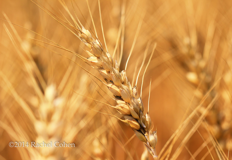 """""""Golden Waves of Grain""""  All images protected by U.S. and International copyright laws.  No image may be used as a whole, in part, on blogs, or in any other manner without the written permission of Rachel Cohen.  (C) 2014 Rachel Cohen """"All Rights Reserved"""""""