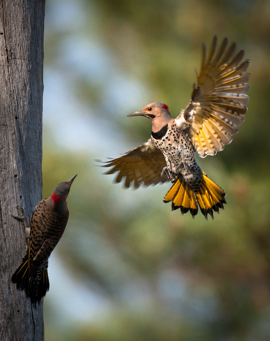 Photograph Yellow Shafted Northern Flicker  by Dave Wright on 500px