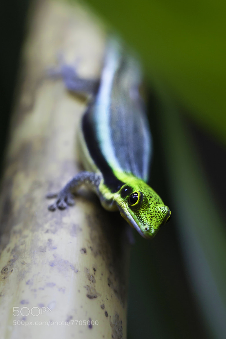 Photograph Phelsuma Klemmeri by Milan Zygmunt on 500px