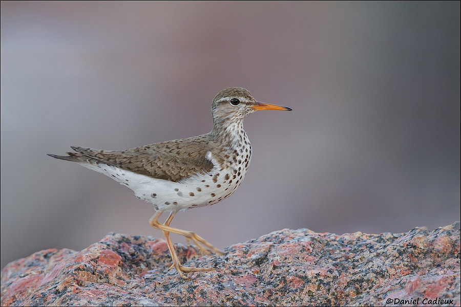 Spotted Sandpiper by Daniel Cadieux on 500px.com