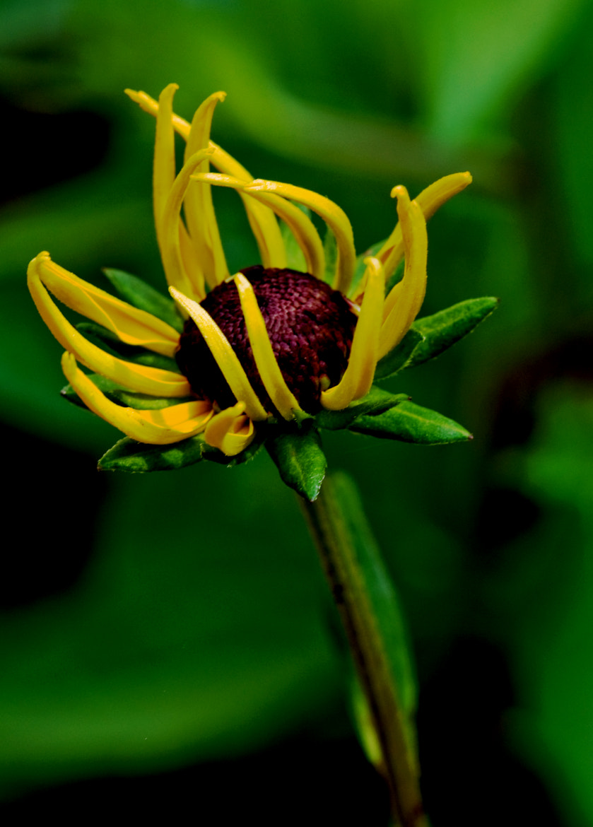Photograph Black Eye Susan, Opening Today by Mark Luftig on 500px