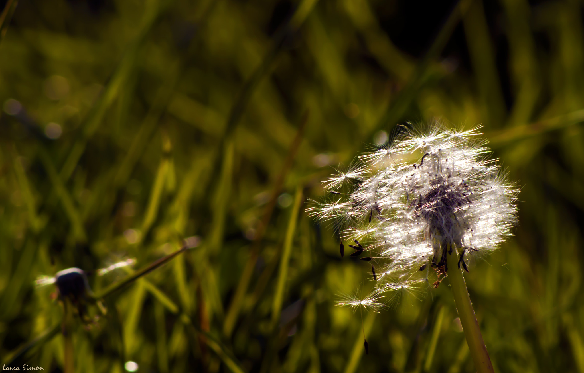 Photograph Dandelion flew by Laura Simon on 500px