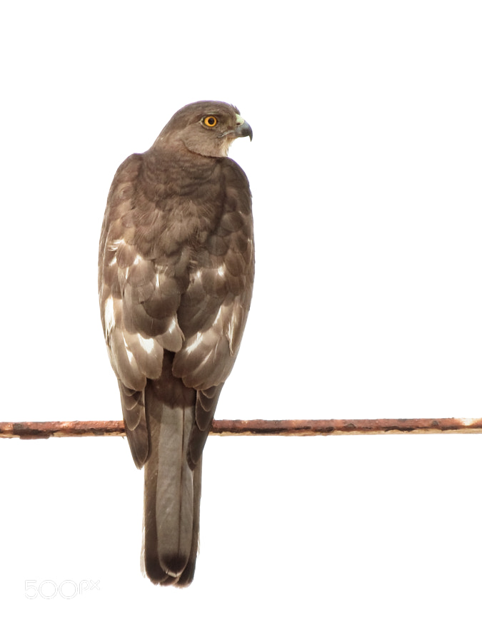 Photograph Shikra (Accipiter badius) by Nauzer Kasad on 500px