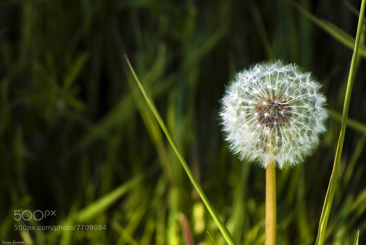 Photograph Dandelion whole by Laura Simon on 500px