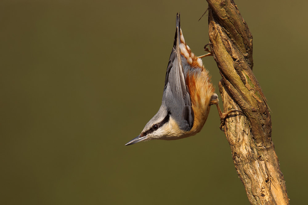 Photograph Nuthatch by Nigel  Pye on 500px
