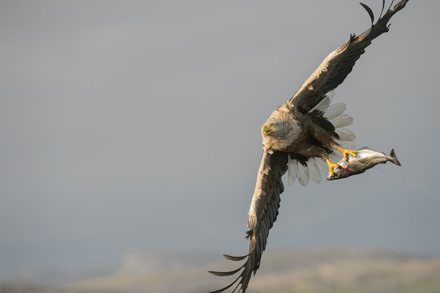 White-tailed Eagle with catch. by Andy Astbury on 500px.com