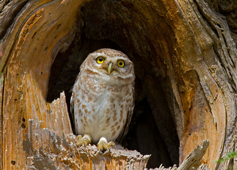 Photograph Spotted owlet by Seyed Babak  Musavi on 500px