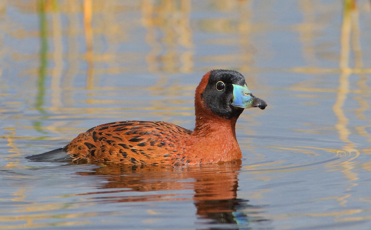 Photograph Masked Duck by Ron Bielefeld on 500px
