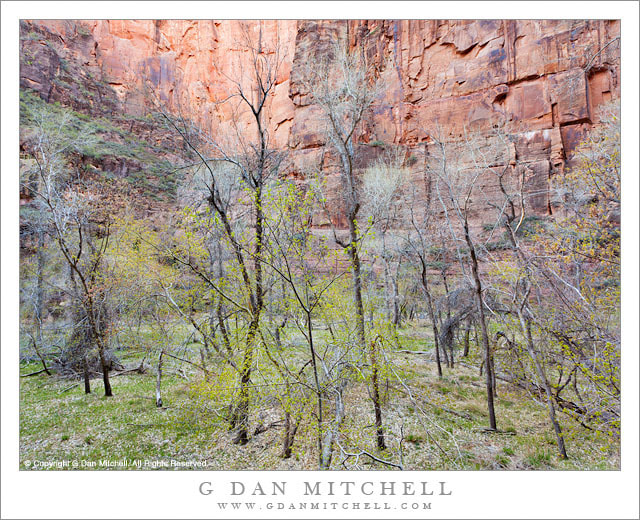 Photograph Spring Cottonwoods, Zion Canyon by G Dan Mitchell on 500px