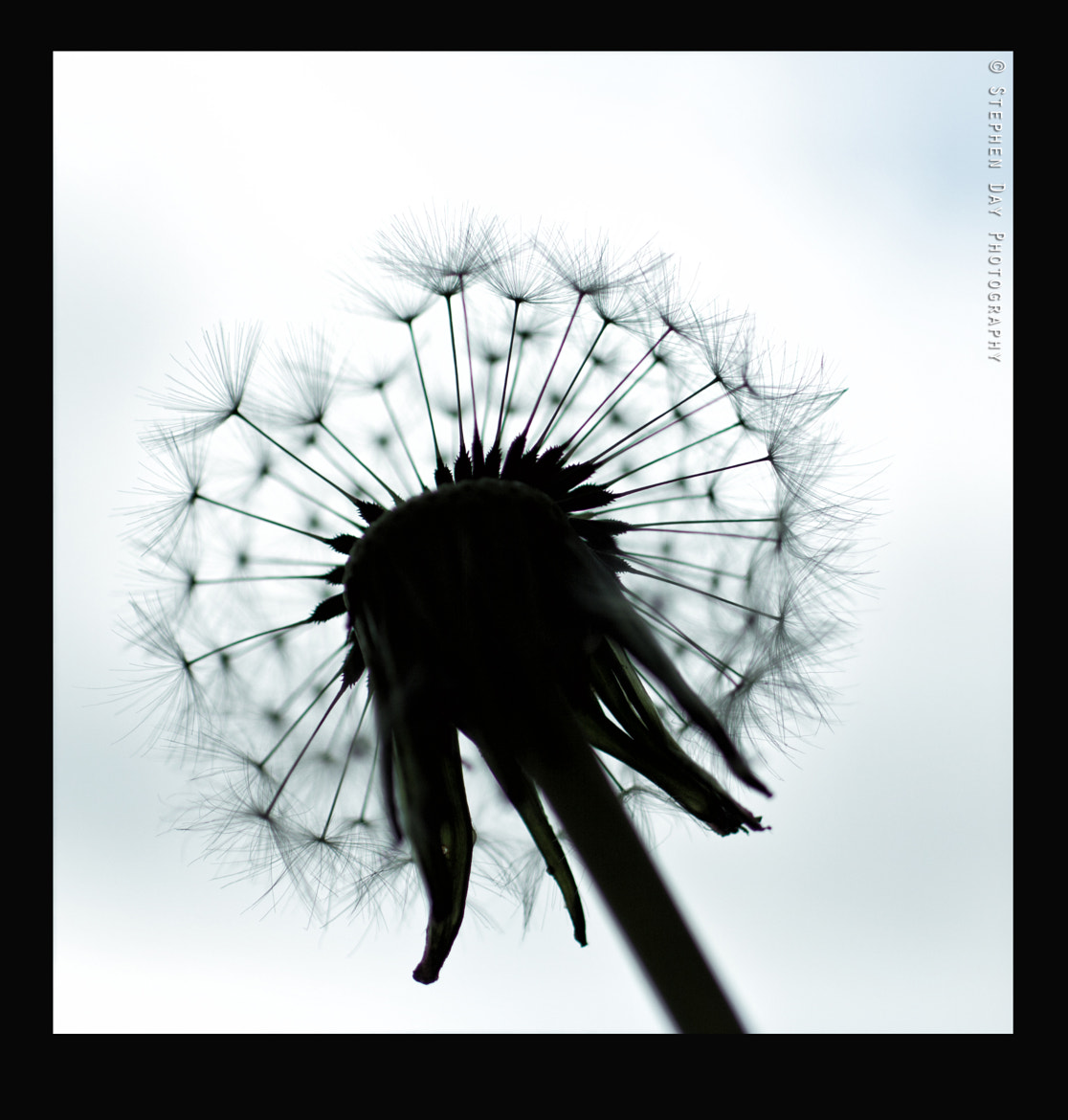 Photograph ''Dandelion Silhouette'' by Stephen Day Photography on 500px