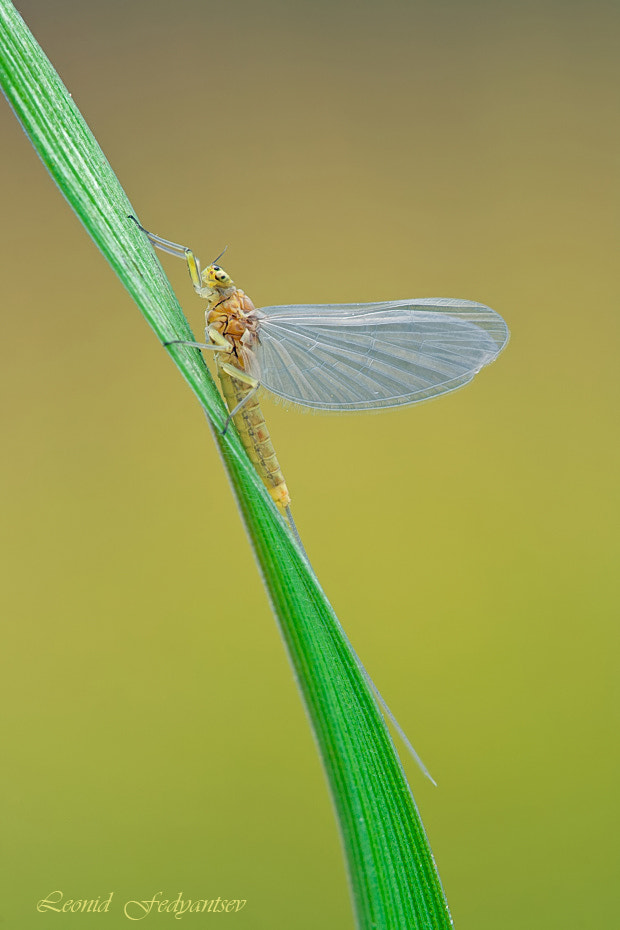Photograph Profile Of Mayfly by Leonid Fedyantsev on 500px