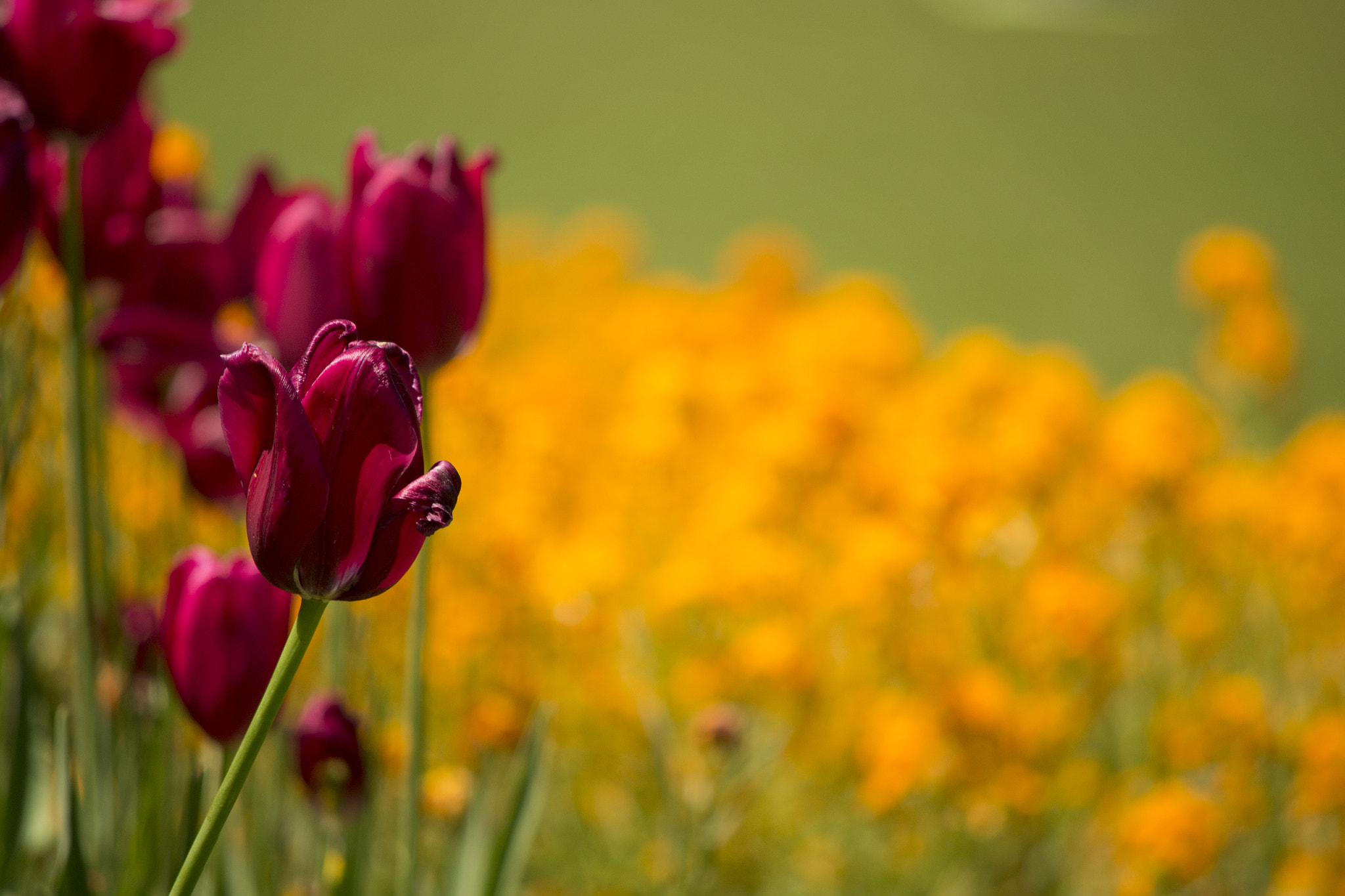 Photograph Tulip by  Mendes on 500px