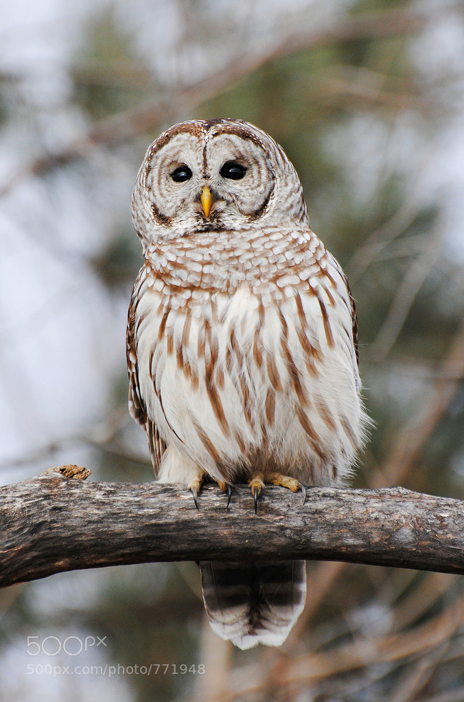 Photograph Barred Owl by Shayna Hartley on 500px