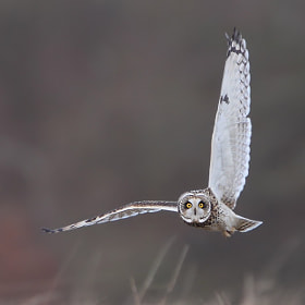 Short Eared Owl by Karen Summers (karen_summers)) on 500px.com