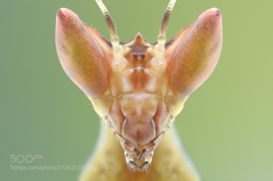 Photograph Mantis by Yudy Sauw on 500px
