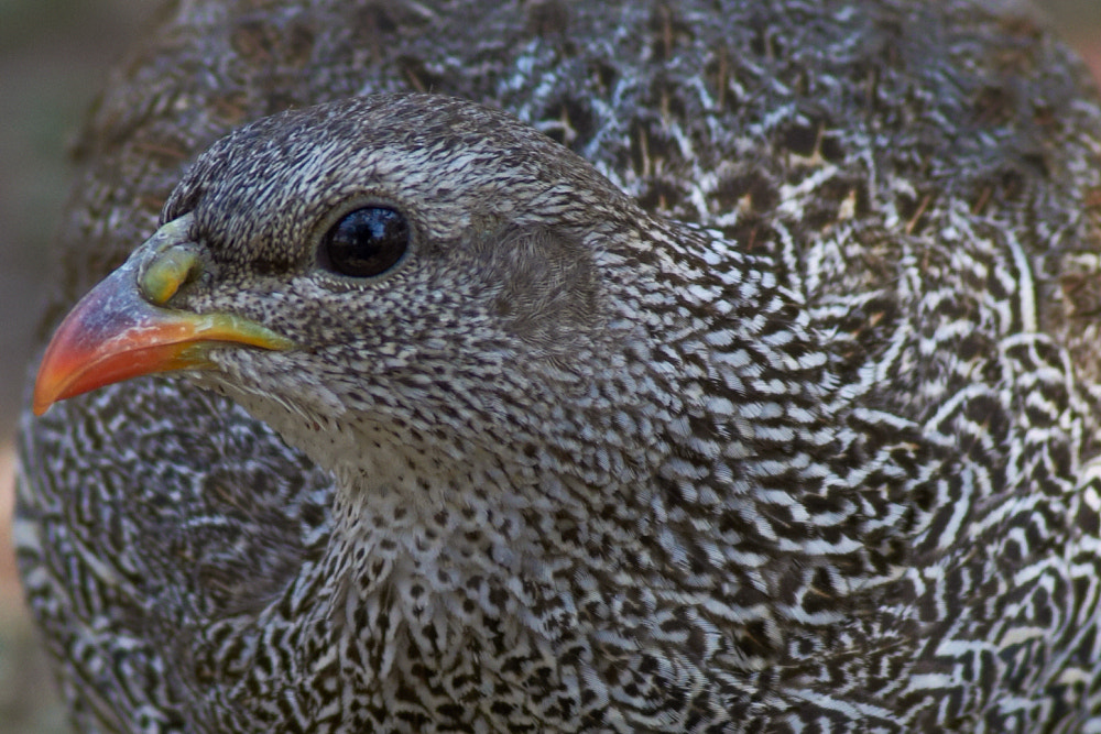 Photograph Natal Spurfowl by Patrick Benade on 500px