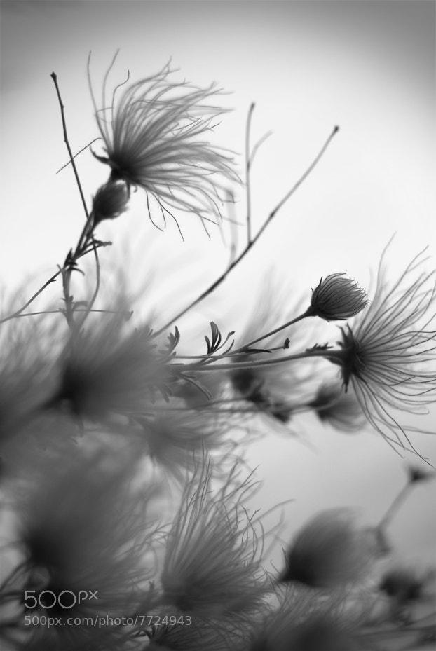 Photograph Apache Plume by Lindsay Kaun on 500px