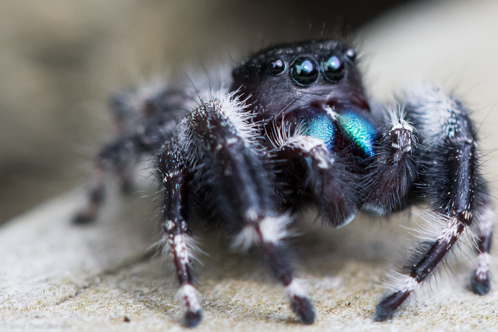 Photograph Daring Jumping Spider by Paul Barson on 500px