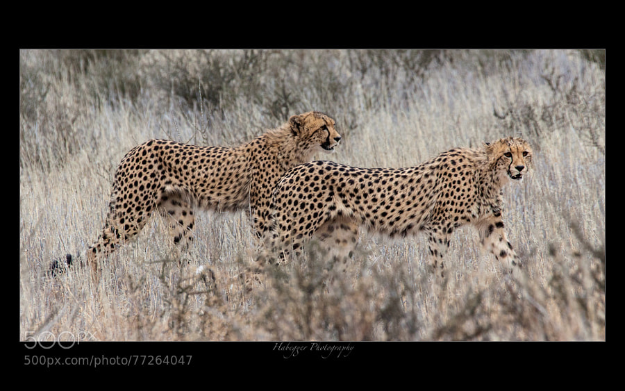 two young cheetah brothers, kgalagadi transfrontier park