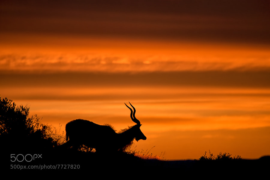 Photograph Sunrise Kudu by Mario Moreno on 500px