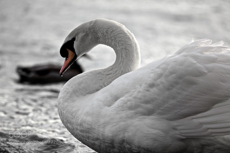 Photograph The Swan by Christophe Pfeilstücker on 500px