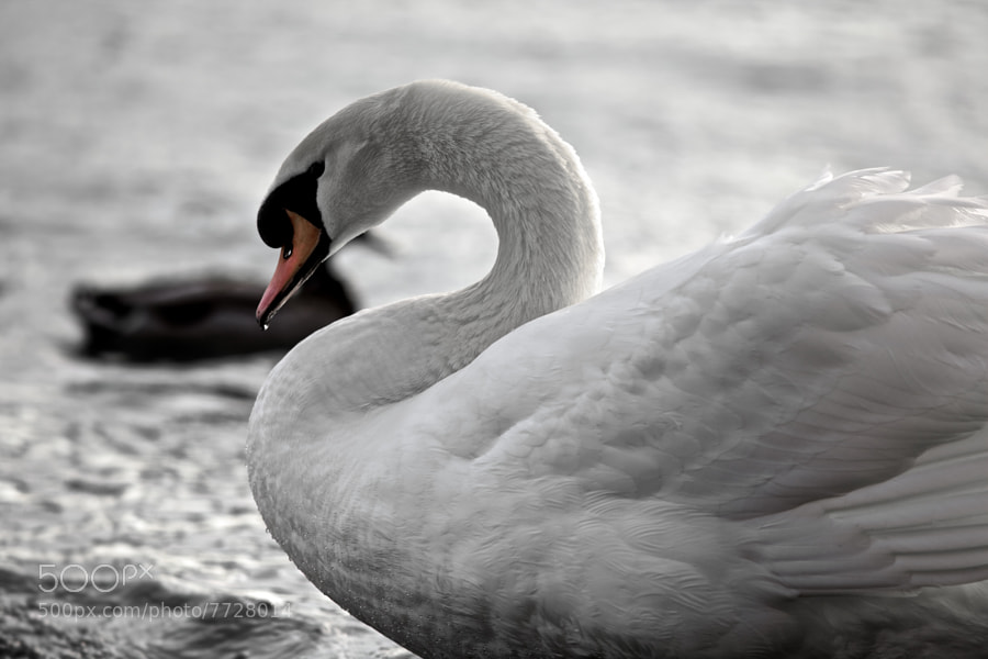 Photograph The Swan by Christophe Pfeilstücker on 500px