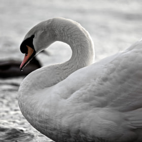 The Swan by Christophe Pfeilstücker (xris74)) on 500px.com