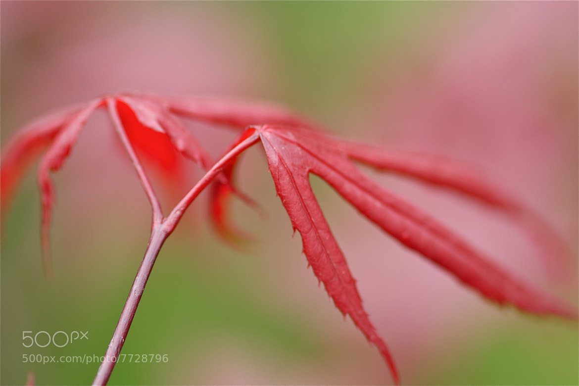 Photograph Japanese maple by Hennie Clarijs on 500px