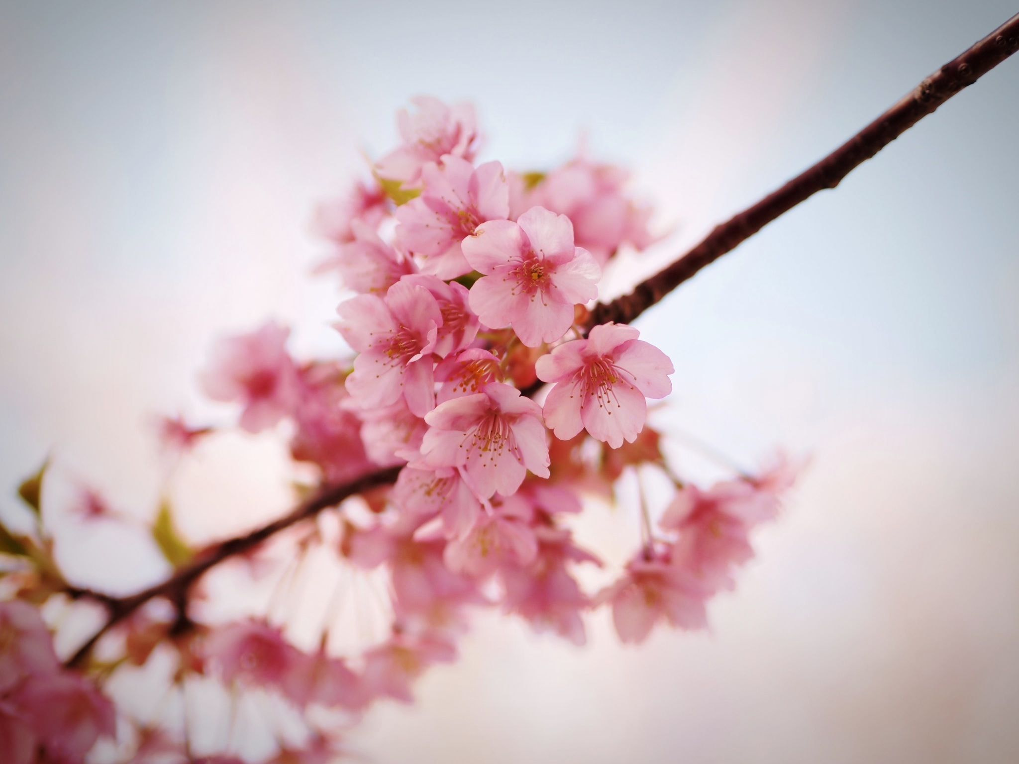 Photograph kawazu cherry blossoms by Len Loving on 500px