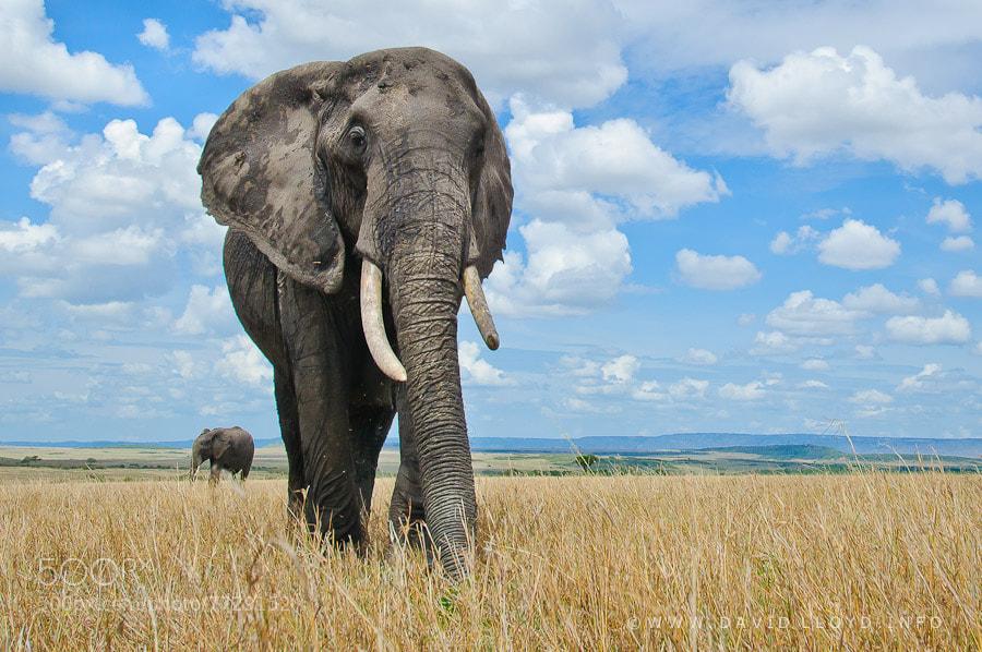 Photograph Grazing Elephants by David Lloyd on 500px
