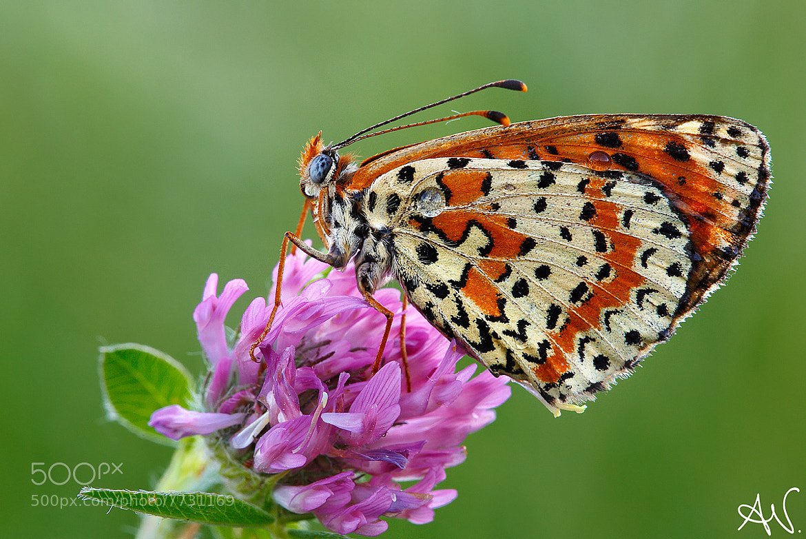 Photograph Butterfly by Andrea Visca on 500px