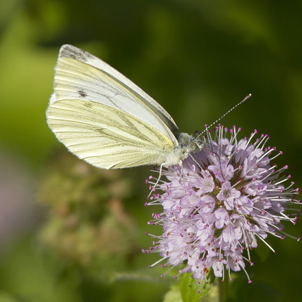 Small Cabbage White (Pieris rapae)