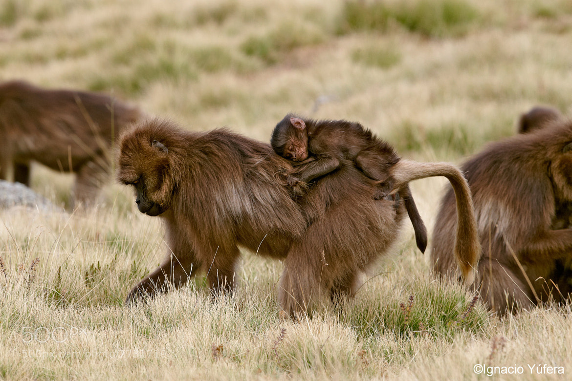 Photograph Gelada mother by Ignacio Yúfera on 500px