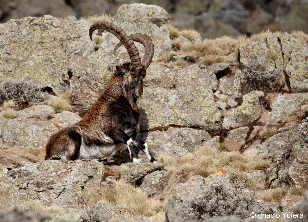Photograph Walia Ibex by Ignacio Yúfera on 500px