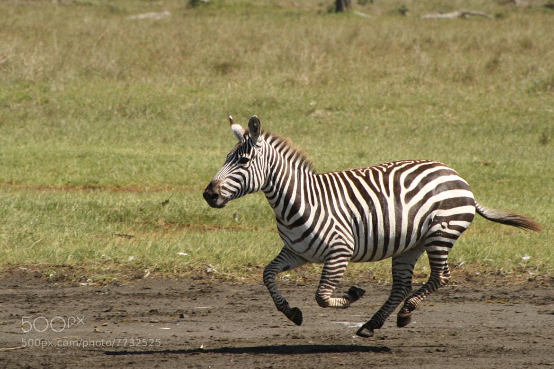zebra running - photo #3