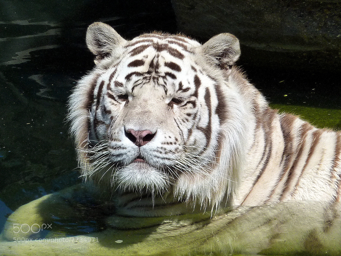 Photograph White tiger by Fran Duran on 500px